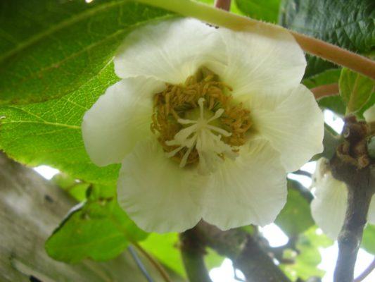 Женский цветок киви