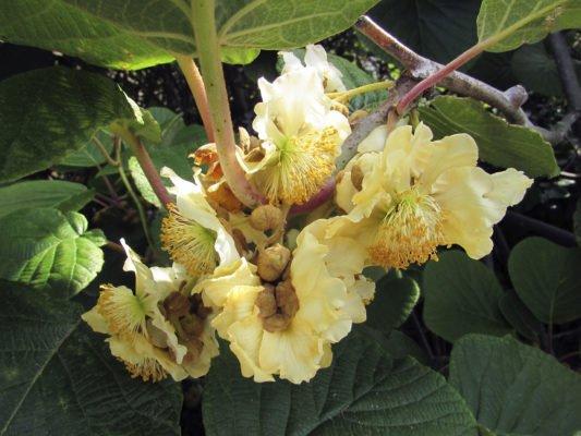 Мужские цветки киви