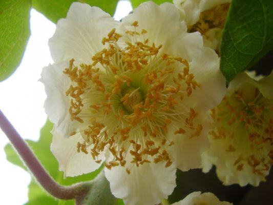 Мужской цветок киви