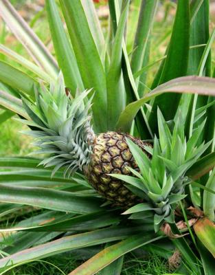 Отводки ананаса