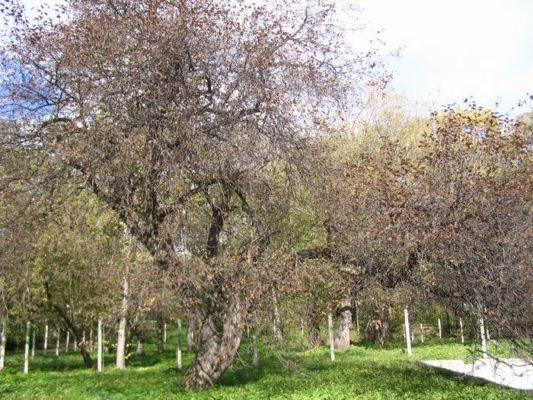 Свободнорастущая яблоня