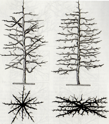 Схема формировки кроны по типу веретено