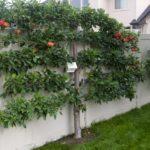Яблони вдоль забора