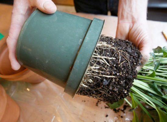 схема пересадки растения с комом земли