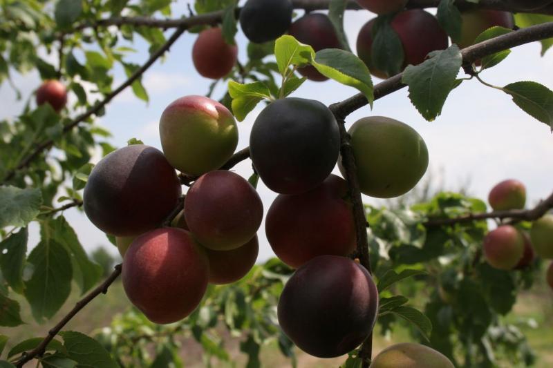 """Слива черный принц описание сорта. Черный абрикос """"черный принц"""": описание сорта, особенности выращивания и отзывы"""