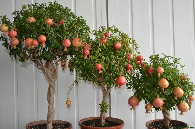 Как выращивать гранат дома