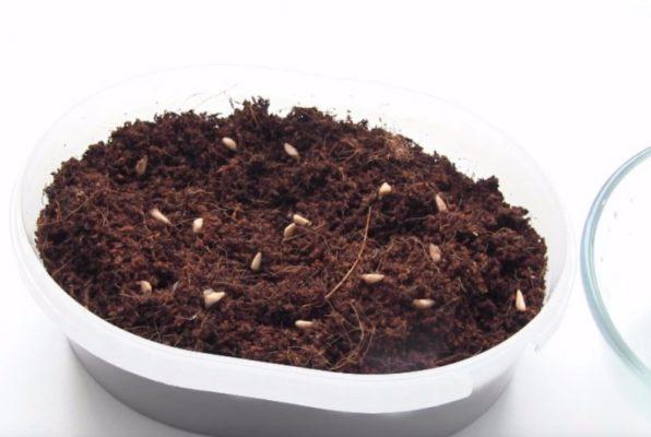 Семена граната в почве