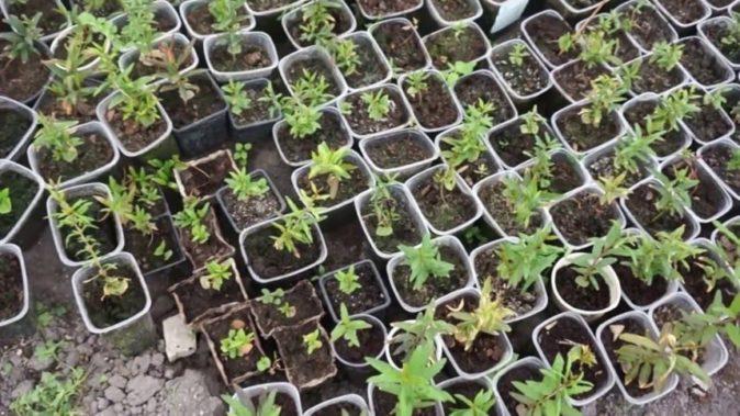 Пересаженные растения граната