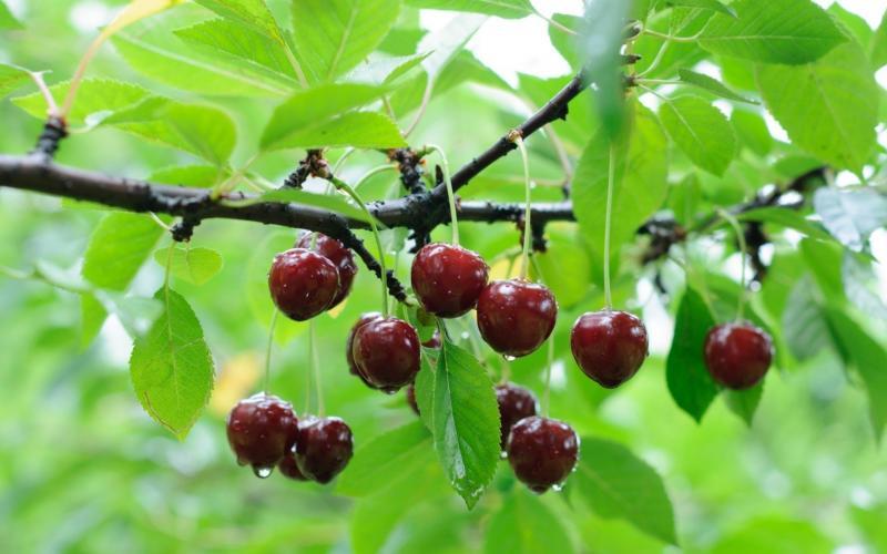 Войлочная вишня  болезни и лечение
