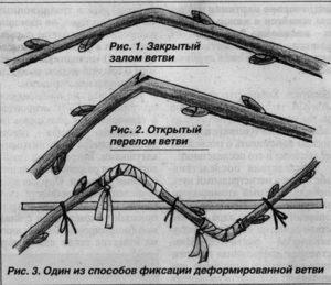 Схема заготовки черенков