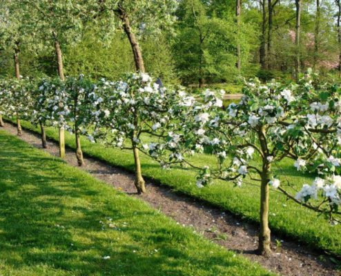 Цветущие яблони