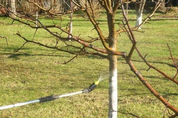 Побелка вишни