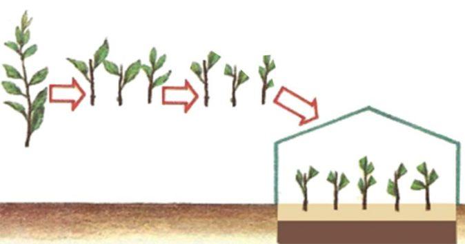 Схема размножения зелёными черенками