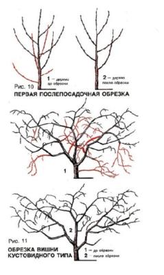 Схема обрезки кустовидной вишни