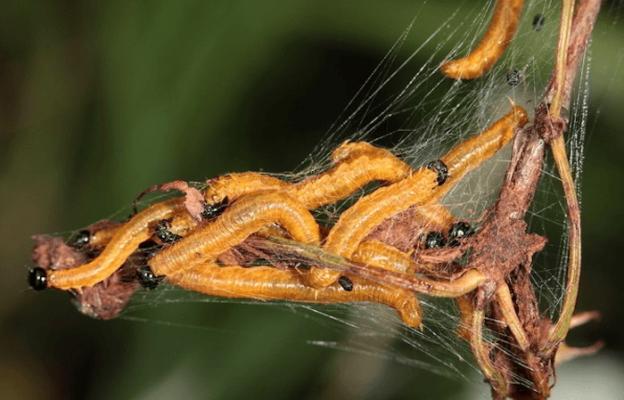 Гусеницы грушевого пилильщика