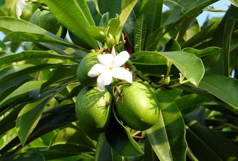 Манго описание фрукта