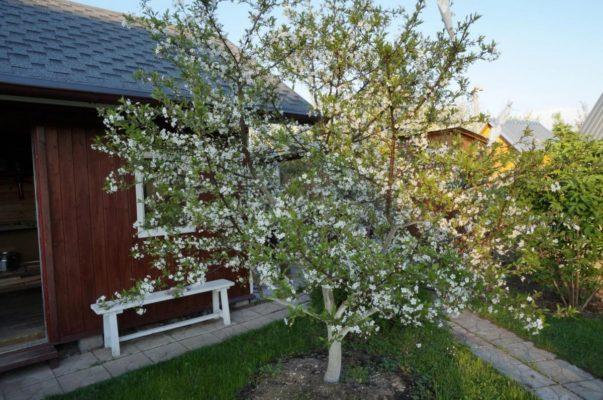 Цветущее дерево вишни