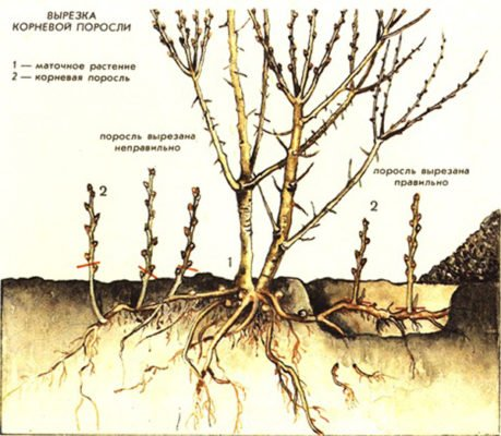 Схема вырезки корневой поросли дерева