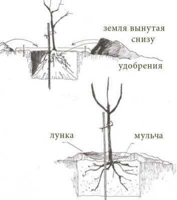 Схема расположения саженца в лунке