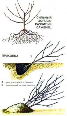 Рисунок прикопки саженца вишни
