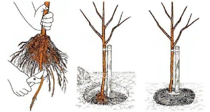 Рисунок посадки вишни