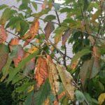 Листья вишни, поражённые монилиозом