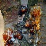 Ствол вишни, поражённый гоммозом