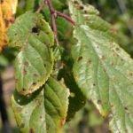 Листья вишни, поражённые клястероспориозом
