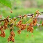 Ветка вишни с засохшими соцветиями