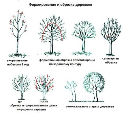 Рисунок видов обрезки деревьев
