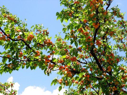 Ветви абрикоса с плодами