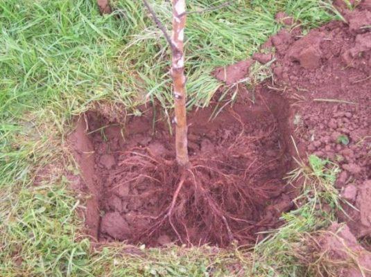 Саженец дерева в посадочной яме