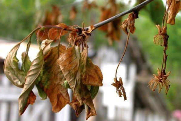 Листья вишни, поражённой монилиозом