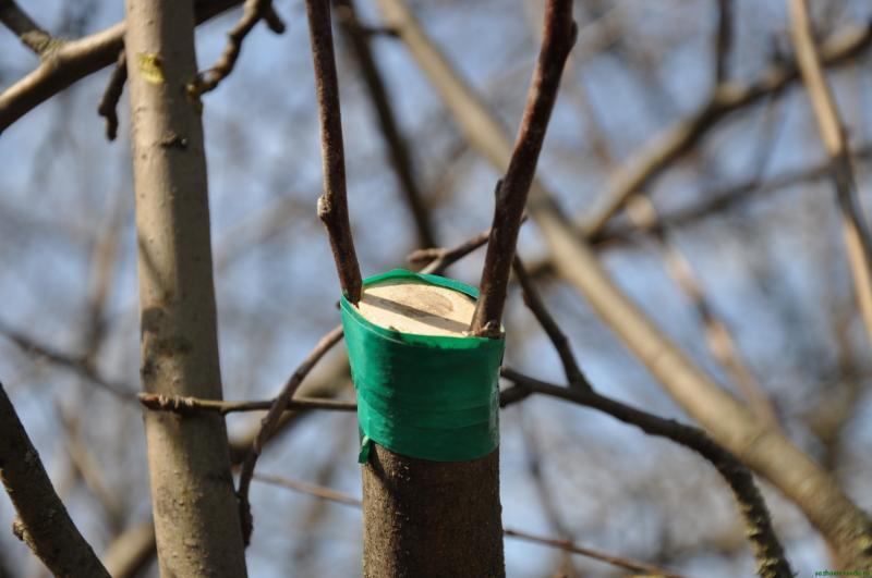 Хранение черенков. Как сохранить черенки до весны