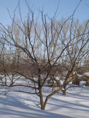 Яблоня в начале весны