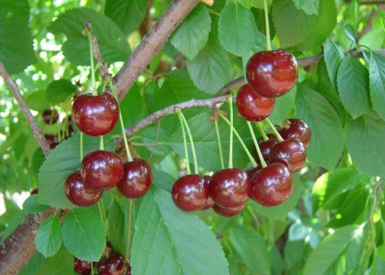 Ягоды вишни сорта Игрушка на ветке