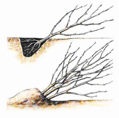 Рисунок прикопки саженца дерева