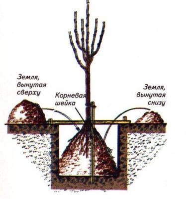 Рисунок подготовки посадочной ямы