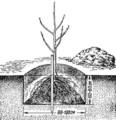 Рисунок посадки дерева