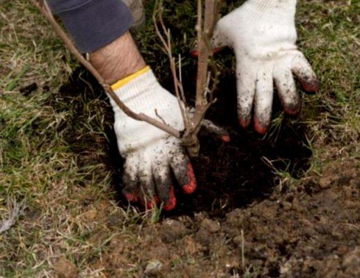 Руки мужчины, который сажает дерево