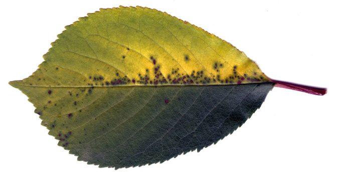 Лист вишни, поражённый коккомикозом