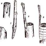 Рисунок прививки вприклад с язычком