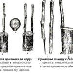 Рисунок прививки за кору