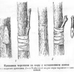 Рисунок прививки за кору с оставлением шипа