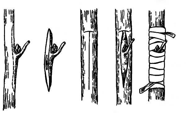 Рисунок окулировки