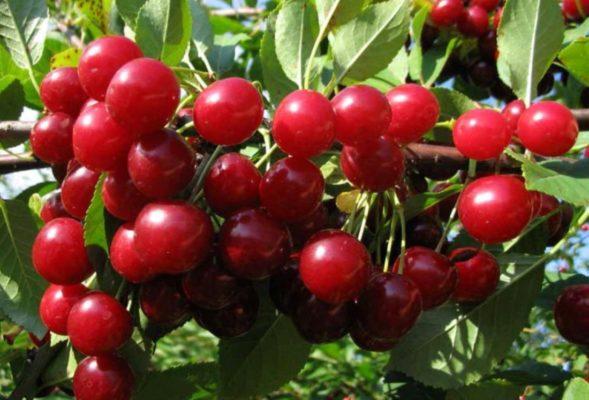 Ягоды вишни сорта Любская