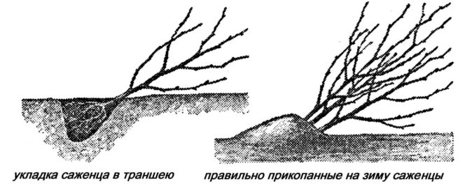 Саженцы вишни в траншее