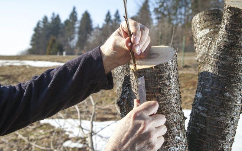 На что можно привить черешню: названия деревьев. Как привить черенок черешни на вишню весной пошагово: инструкция для начинающих. Какое лучшее время и самый лучший способ для прививки черешни: сроки