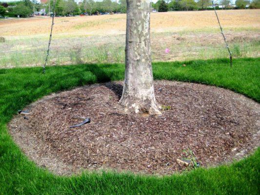 Мульча в приствольном круге дерева