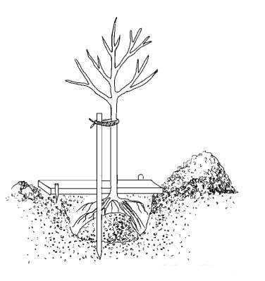 Рисунок подвязки саженца к опоре